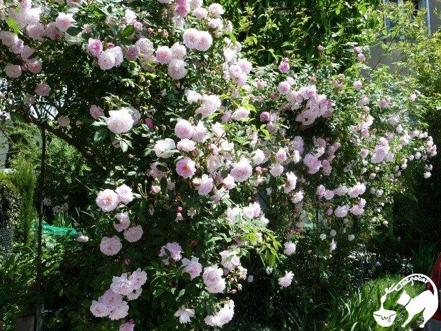 rosier (1)
