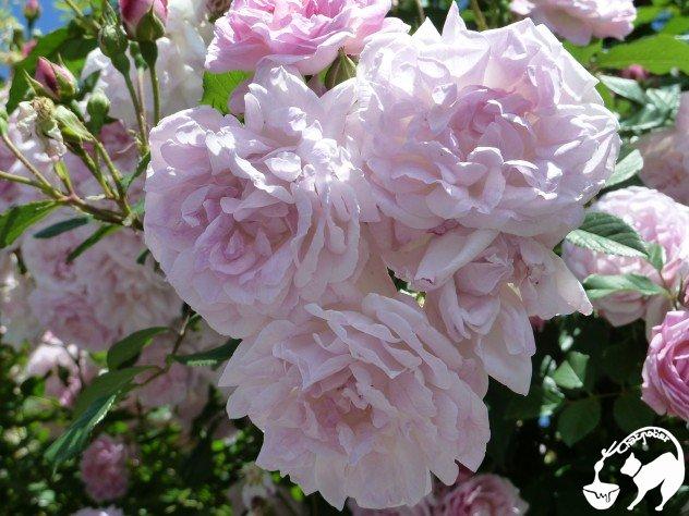 rosier (4)